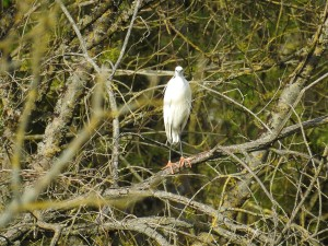aigrette-1-perche
