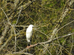 aigrette-2-perche